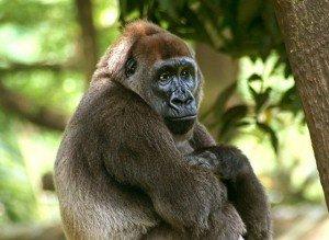 800px-Cross-river-gorilla