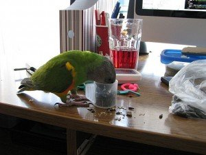 800px-Poicephalus_senegalus_-pet_eating_seeds-8