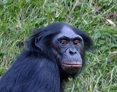 Bonobo-Head