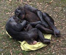 Bonobos_adoring_baby_(4531338876)