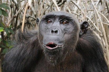 Chimpanzee_Pan_troglodytes