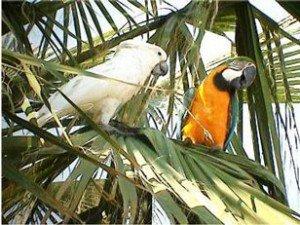 perroquet_4