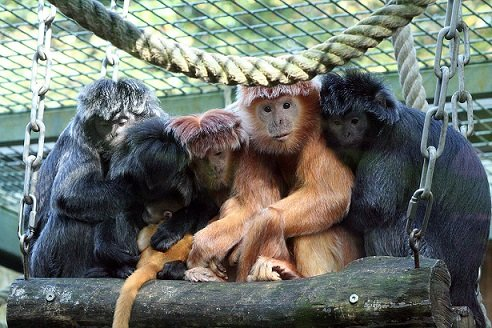Lutung_Group_02_Zoo_Hannover_Germany