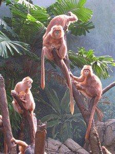 Javan_Lutung_Trachypithecus_auratus_at_Bronx_Zoo_3