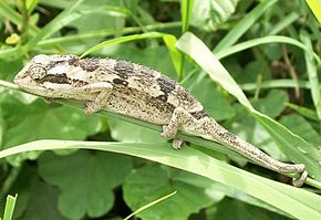 Dwarf_Chameleon