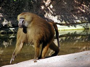 Baboon_in_Nuremberg_Zoo