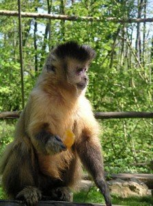 Tufted_Capuchin