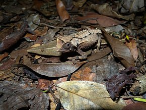 Brookesia_decaryi_2009a