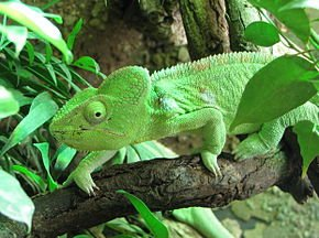 Furcifer_oustaleti_female