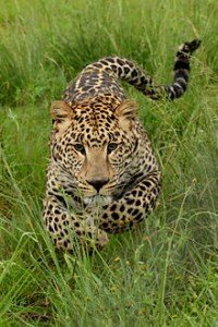 Leopard-001