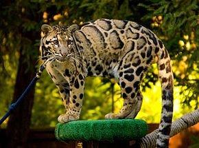 290px-Clouded_Leopard_SanDiegoZoo