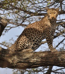 800px-Leopard_standing_in_tree_2