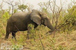 Elephant d´Afrique