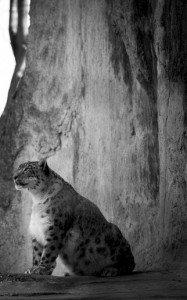 snow-leopard-173126-2-1