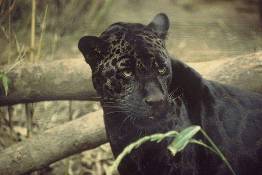 1024px-Black_jaguar