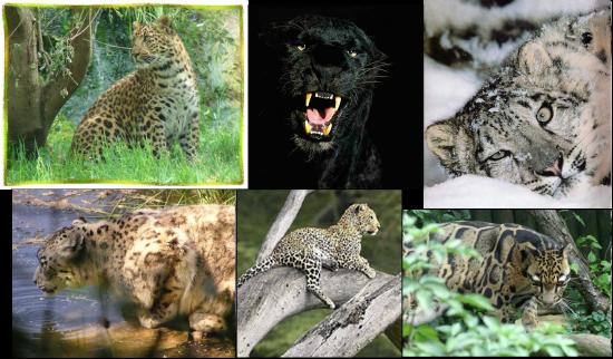 la-panthere et le léopard