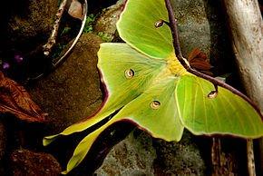 290px-An_Arkansas_Luna_Moth