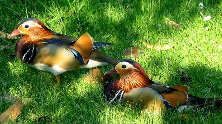 Drake_Mandarin_Ducks