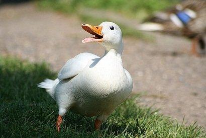 Canard de pékin