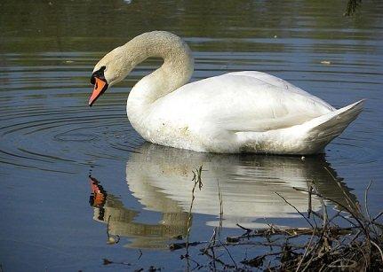 Swan_(Cygnus)