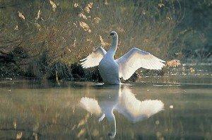 le-cygne-majestueux