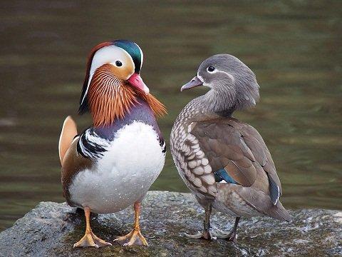 Mandarin mâle et femelle