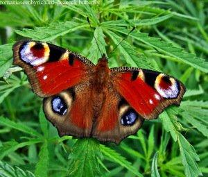 papillon-io