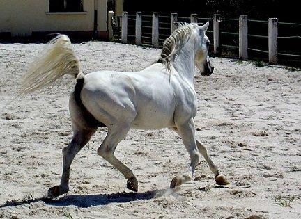 cheval totem