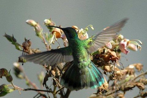 colibri a