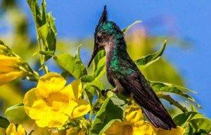 colibri-huppe