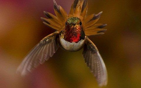 colibri-roux