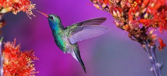 colibri02