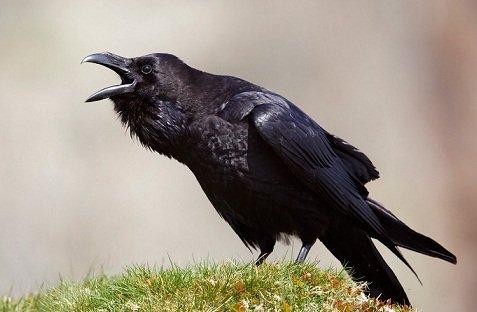 Corbeau bavard