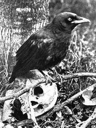 corbeau magie