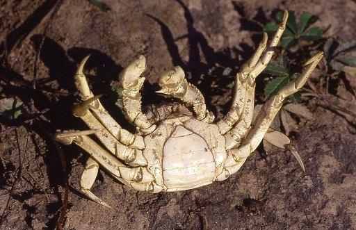 Crabe mâle