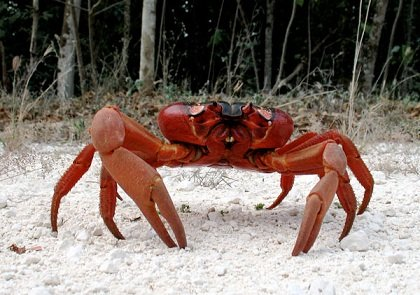 crabe-rouge-1