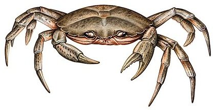 Crabe_enragé