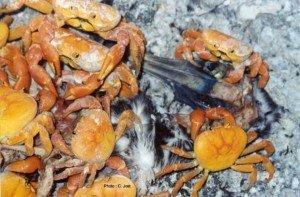 Lutte de crabes