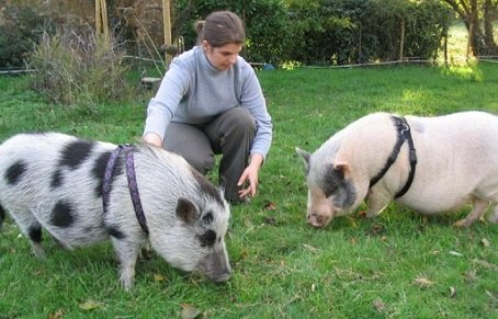 cochon domestiqué