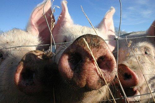 porc-cochon_0