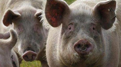 elevage-porc