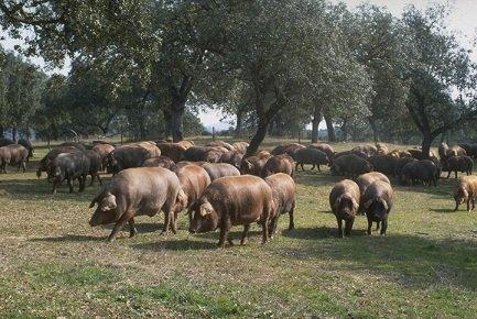 Porcs_ibériques_et_chênes