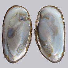 Moules perlières