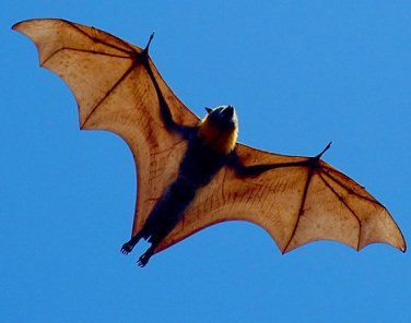 Les chauves-souris d'Amérique tropicale dans RAT et SOURIS la-chauve-souris-en-plein-vol