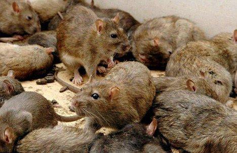 colonie de rats