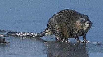 rat musqué