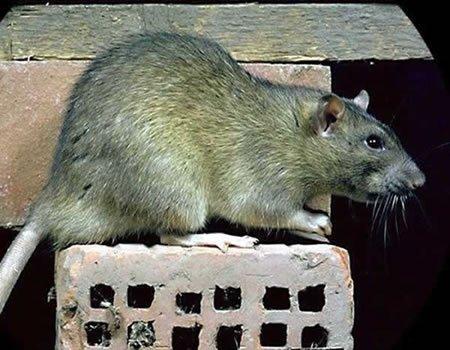 Rat et souris expériences