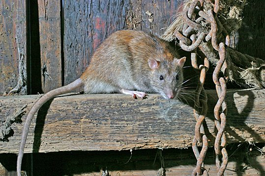 rattus norvegicus   brown rat