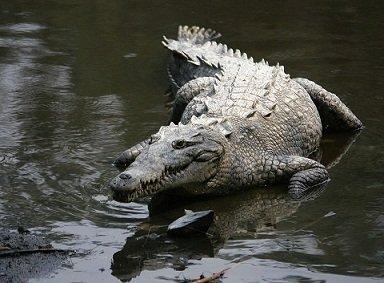 Croco femelle