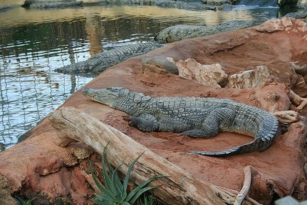 Crocodile-du-nil